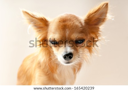 chihuahua dog head with  disgruntled expression close-up on neutral background  - stock photo