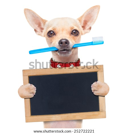 chihuahua dog holding a toothbrush with mouth holding a blank banner or placard, isolated on white background - stock photo