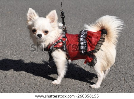 Chihuahua dog in a dress - stock photo
