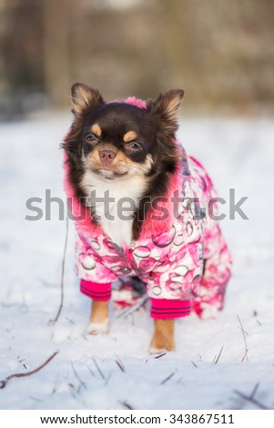 chihuahua dog in a winter jacket outdoors - stock photo