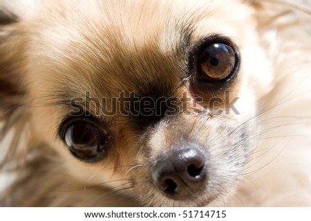 Chihuahua dog in detail