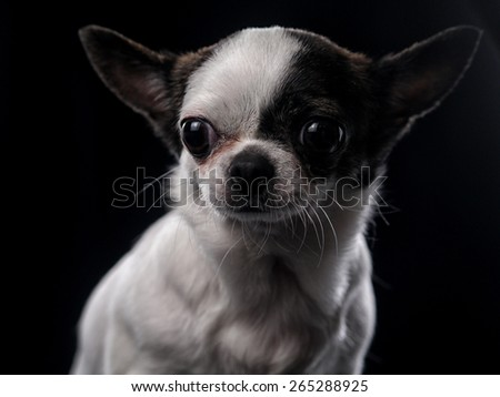 chihuahua dog in studio on black background - stock photo