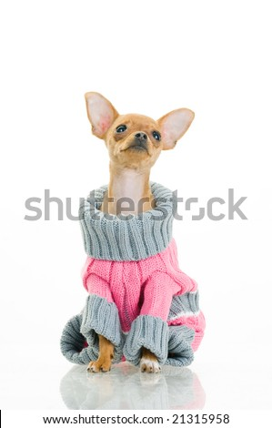Chihuahua dog in sweater, isolated on white background - stock photo