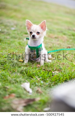Chihuahua dog in the garden
