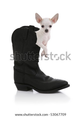 Chihuahua Dog inside a Cowboy Boot - stock photo