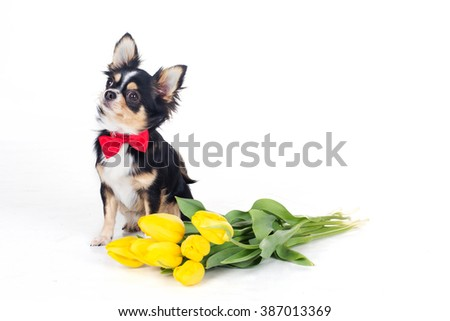 Chihuahua dog is wearing bow tie with bouquet of yellow flowers - stock photo