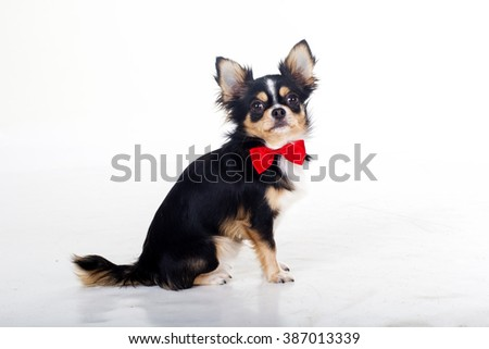 Chihuahua dog is wearing red bow tie - stock photo