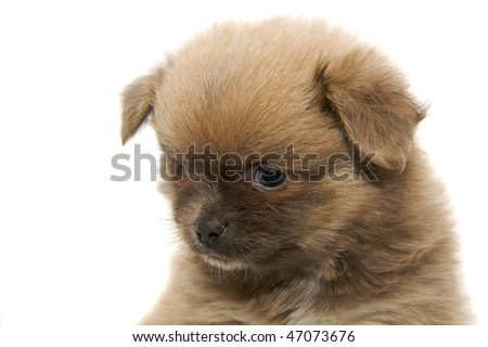 Chihuahua dog isolated