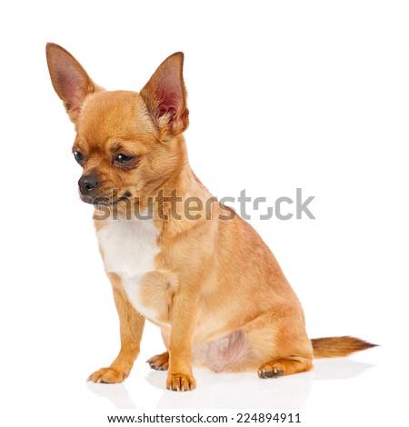 Chihuahua dog isolated on white background. Closeup. - stock photo
