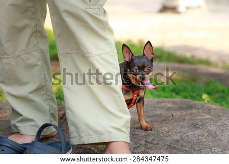 Chihuahua dog long tongue  - stock photo