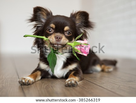 chihuahua dog lying down and holding a rose - stock photo