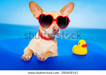 chihuahua dog  on a mattress in the ocean water at the beach, enjoying summer vacation holidays, wearing red sunglasses  with yellow     plastic rubber duck - stock photo