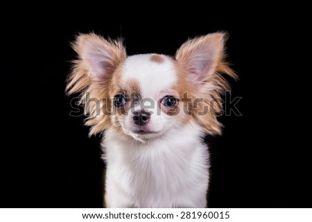 Chihuahua dog on a studio black background