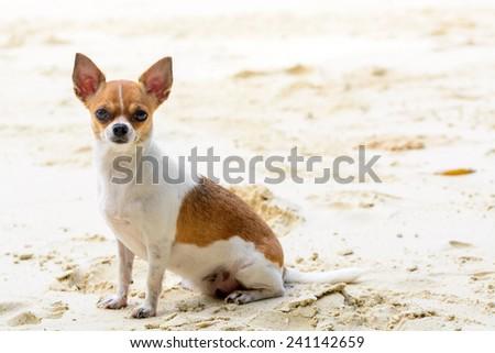 Chihuahua dog on the beach - stock photo