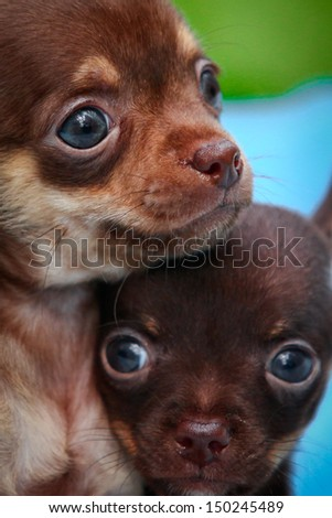 Chihuahua dog on the nature of puppies - stock photo