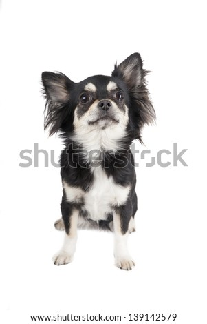 Chihuahua dog on white background - stock photo