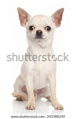 Chihuahua dog. Portrait on white background