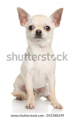 Chihuahua dog. Portrait on white background - stock photo