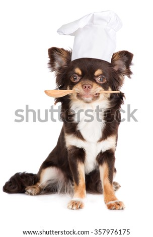 chihuahua dog posing as a cook - stock photo