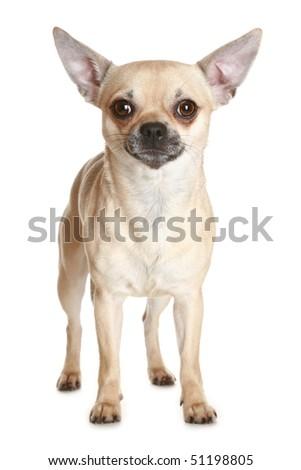 Chihuahua dog puppy on white background - stock photo