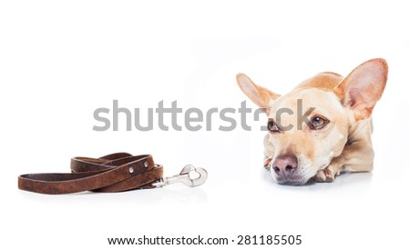 chihuahua dog ready for a walk with leash with owner , isolated on white background - stock photo