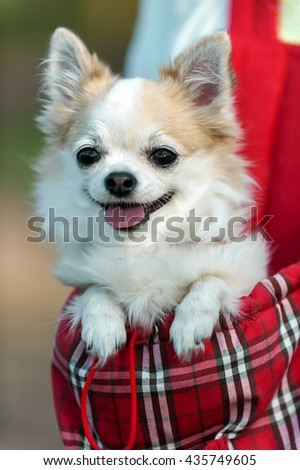 chihuahua dog  ready for travel in red bag close-up in evening sunlight  - stock photo