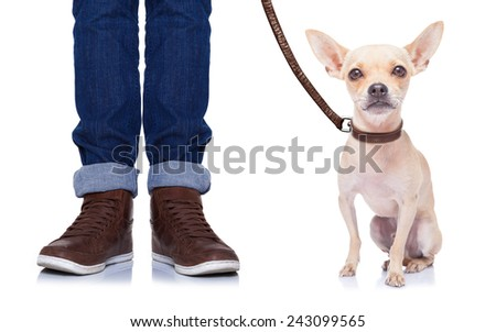 chihuahua dog ready to go for a walk with owner , isolated on white background - stock photo