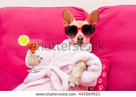 chihuahua dog relaxing at spa wellness center wearing a  bathrobe and funny sunglasses, drinking a martini cocktail - stock photo
