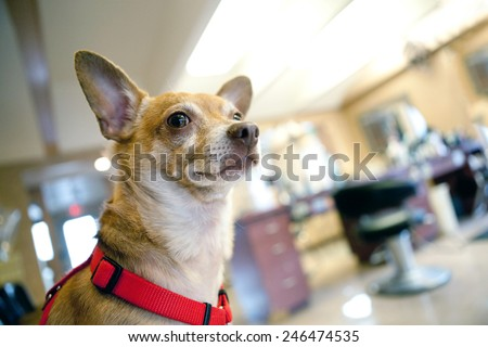 Chihuahua dog seated inside a beauty salon. Great concept for dog grooming. Shallow depth of field. - stock photo
