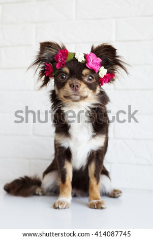 chihuahua dog sitting in a flower crown - stock photo