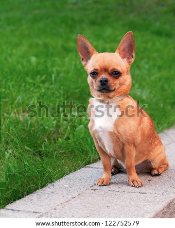 Chihuahua dog sitting on a background of green grass and looking ahead - stock photo