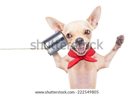 chihuahua dog talking on the phone surprised ,laughing and cheerful, isolated on white background - stock photo