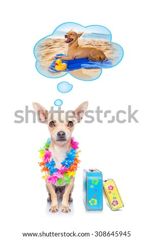 chihuahua dog thinking about the summer vacation holidays at the beach, isolated on white background, ready with luggage and bags to depart - stock photo