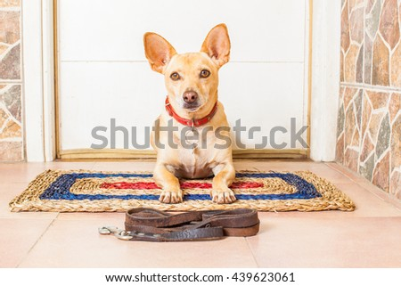 chihuahua dog waiting  at the door for owner   to go for a walk with leash  - stock photo