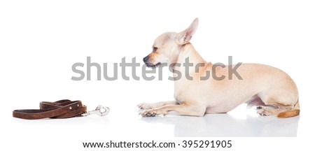 chihuahua dog waiting for a walk with owner, begging   , isolated on white background - stock photo