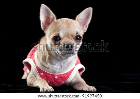 chihuahua dog wearing a red dress with white polka dots on a black velvet background - stock photo