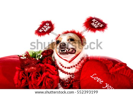 Chihuahua dog wearing colorful red beads sitting on a red pillow isolated on a white background posing with a red pillow that says I love you and wearing a head band that says kiss me. Valentine Dog.
