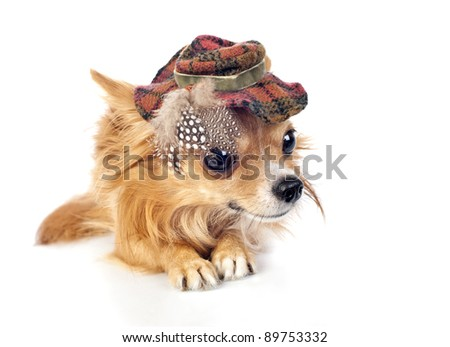 Chihuahua dog wearing elegant tartan hat decorated with feathers lying down on white  background close-up - stock photo