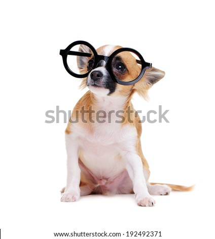 chihuahua dog  wearing glasses  looking up