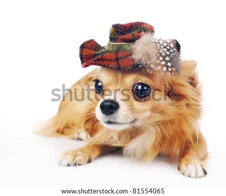 Chihuahua dog wearing in tartan hat decorated with feathers lying on a white  background close-up - stock photo