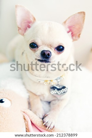 chihuahua dog with a toy