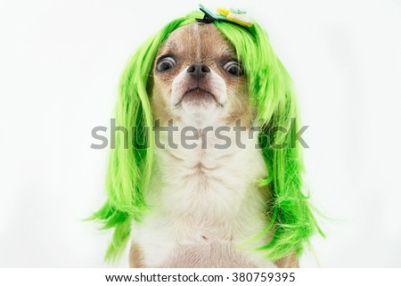 Chihuahua dog with green hair on the white background. - stock photo