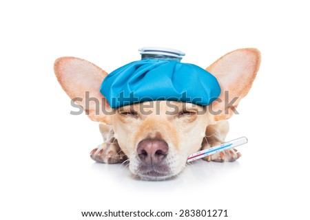 chihuahua dog with  headache and hangover with ice bag or ice pack on head,thermometer in mouth with high fever, eyes closed suffering , isolated on white background - stock photo