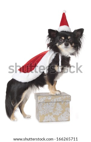 Chihuahua dog with santa costume