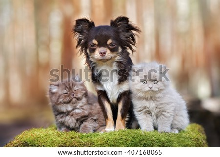 chihuahua dog with two fluffy kittens outdoors - stock photo