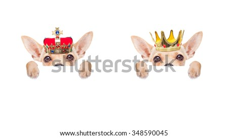 chihuahua  dogs with crown   - stock photo