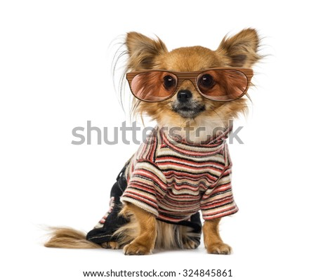Chihuahua dressed and wearing glasses - stock photo