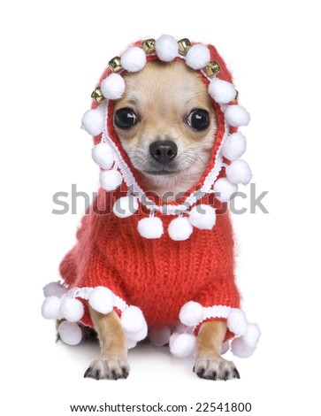 chihuahua dressed as father crhistmas in front of a white background - stock photo