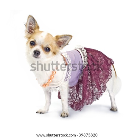 Chihuahua dressed as haute couture - stock photo