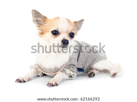 Chihuahua dressed in fashionable dress with empty label, pink pearl and manicure lying on white - stock photo